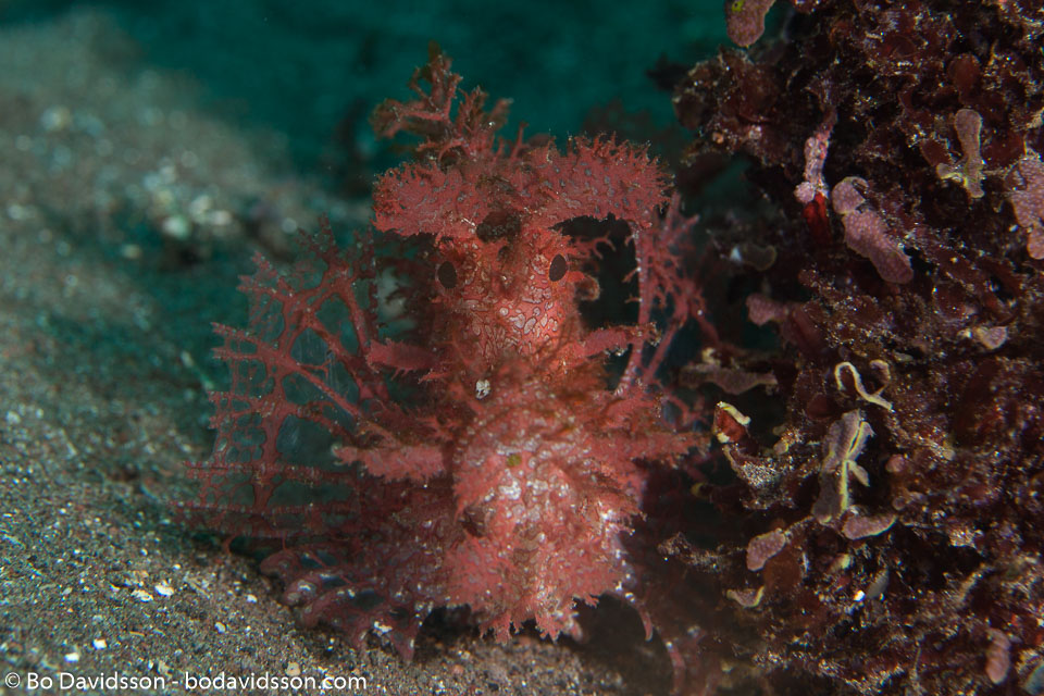 BD-161030-Pura-4130-Rhinopias-frondosa-(Günther.-1892)-[Weedy-scorpionfish].jpg